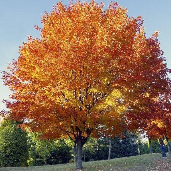 Acer Rubrum Red Maple Long Island Native Plant Nursery
