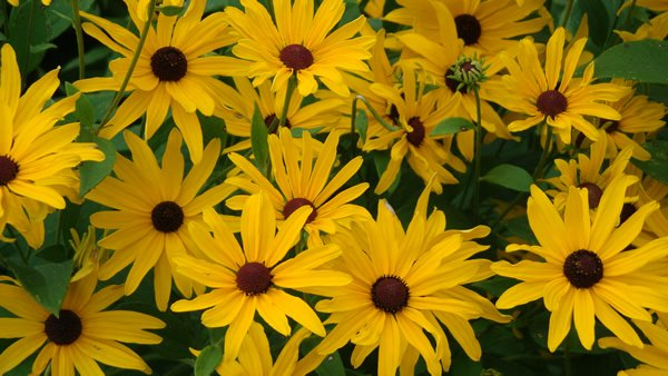 Rudbeckia fulgida black eyed susan long island native Black eyed susans