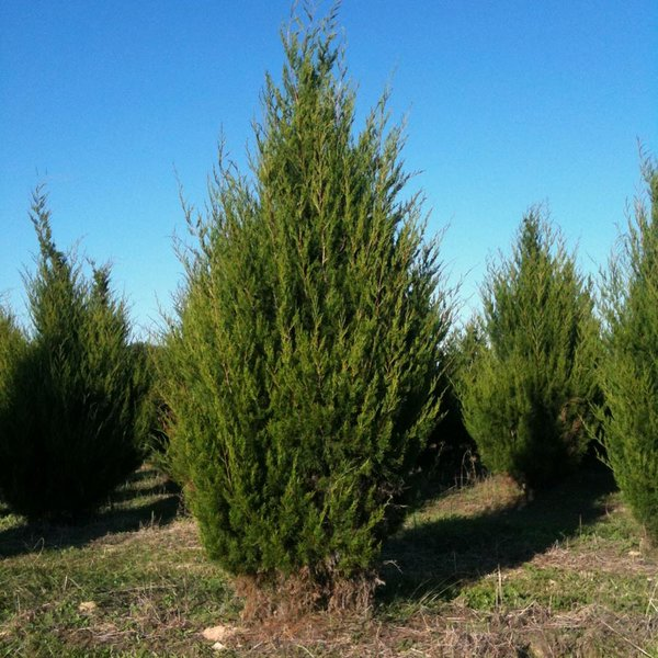 Juniperus Virginiana Eastern Red Cedar Long Island