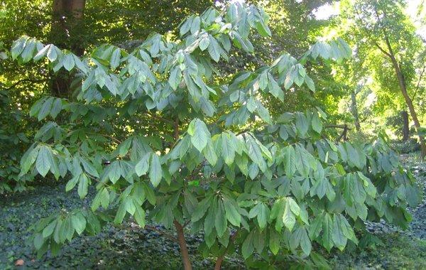 Asimina Triloba Pawpaw Long Island Native Plant