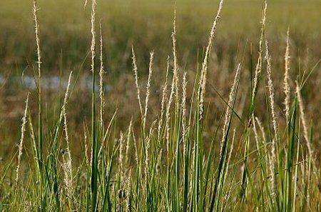 Spartina Alternifolia Saltmarsh Cordgrass Long Island