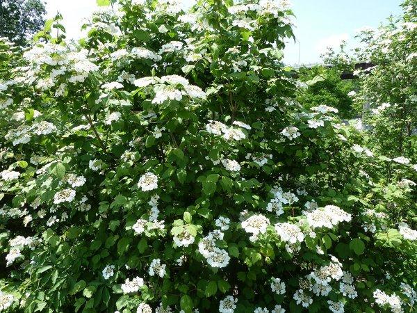 Viburnum Trilobum Highbush Cranberry Long Island