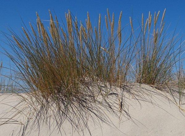Ammophila Breviligulata American Beach Grass Long
