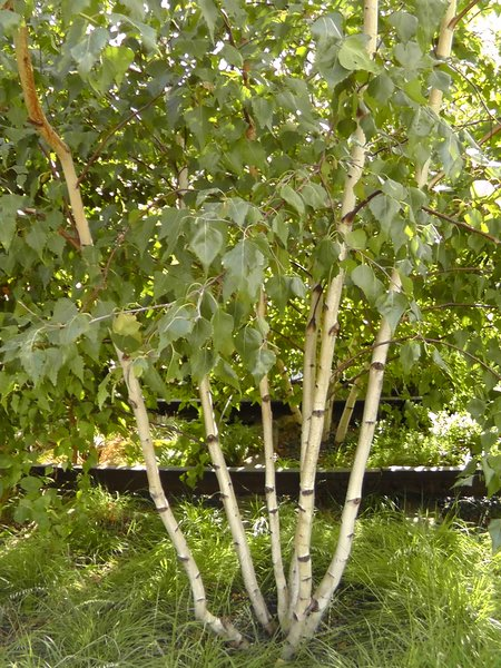 Betula Populifolia Gray Birch Long Island Native Plant