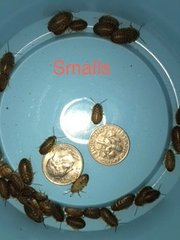 50 COUNT SMALL DUBIA NYMPHS