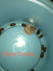 XSMALL DUBIA 1/8 to 1/4 inch sort