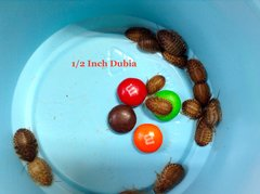 1000 COUNT 1/2 INCH DUBIA (CUPPED)