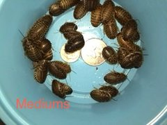 COMBO 500 MEDIUM AND 500 SMALL DUBIA