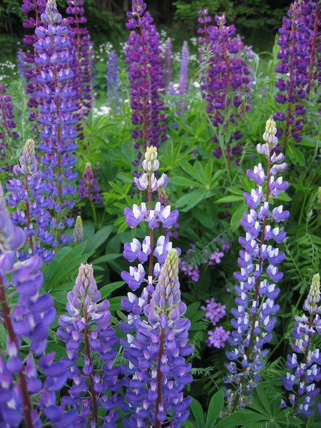 wild blue lupine flower seeds  ohio heirloom seeds, Natural flower