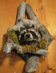 Raccoon Shoulder Mount