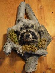 Raccoon Shoulder Mount