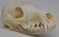 Real Bone Fox Skull