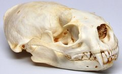 Real Bone North American River Otter Skull