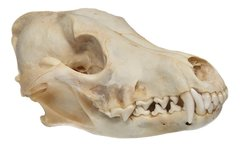 Real Bone Coyote Skull