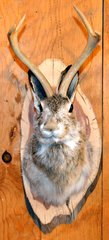 Jackalope Wall Mount
