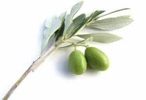 Greek Koroneki Olive Oil
