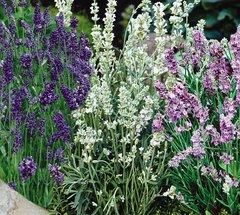 Lavender Blends Clamshell Sampler Pre-order