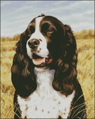 Field Companion Springer Spaniel