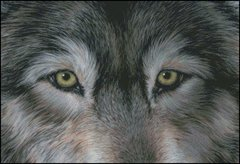 Eyes of the Wolf