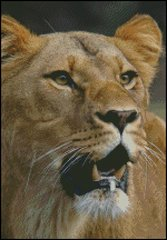Hungry Lioness