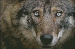 Looking Into the Eyes of a Wolf