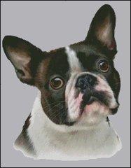 French Bulldog NB