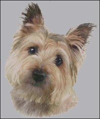 Cairn Terrier NB