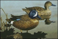 Blue Winged Teal Ducks