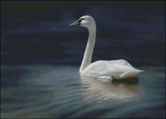 Trumpeter Swan Dawning
