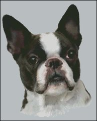 Boston Terrier NB