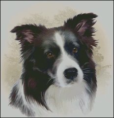 Border Collie - HR