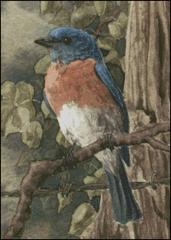 Bluebird - MW