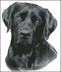 Black Labrador NB