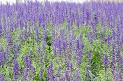 Lavender essential oil 1 oz