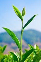 Tea Tree essential oil 1/2 oz