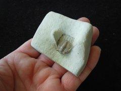 3D Prepped Katernaspis Williamsi Trilobite