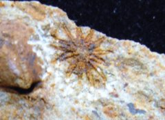 13 Arm Starfish Australia Small