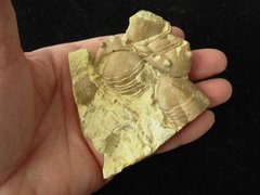 Old Collection Trilobite Homotelus Bromidensis Plate