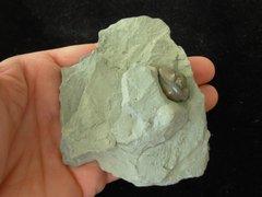 Trilobite Flexycalymene Retrorsa On Matrix Ohio