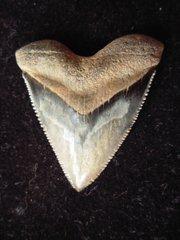 Phenomenal Calvert Hubbell Type Meg Tooth