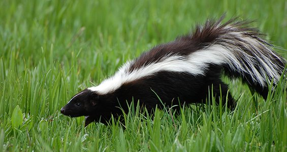Tips for removing skunks from property and how to keep skunks out