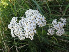 Yarrow, Hungarian