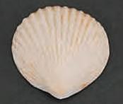 Clam Seashells Brown Tint 2 inch Gumpaste 8 Piece