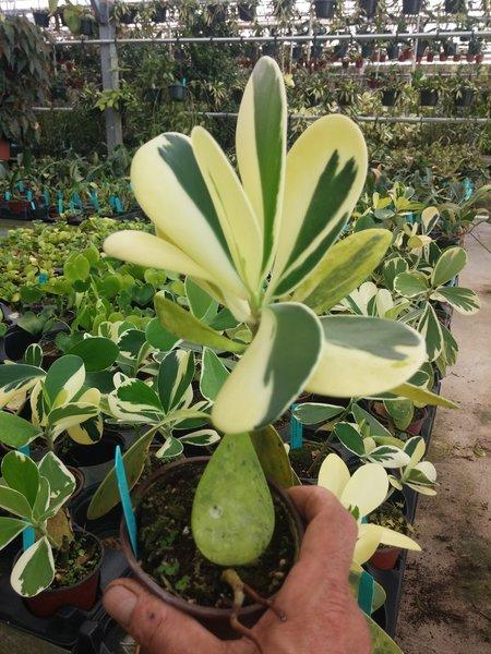 Variegated Clusia (signature plant)