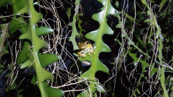 Selenicereus Anthonyanus (ric rac cactus)