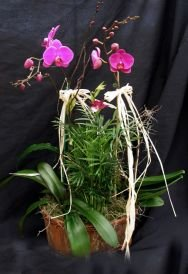 Three Orchid Gift Basket