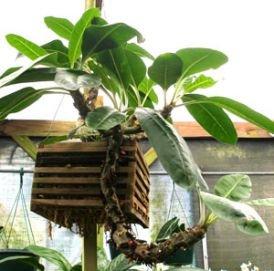 "Myrmecodia Echinata ""ant plant"""