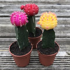 Set of 3 Mixed Grafted Cacti in 5.5cm Pots