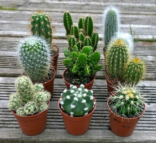 Set of 3 Mixed Cactus Plants in 5.5cm Pots