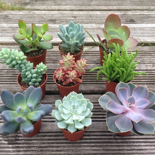 Set of 3 Mixed Succulent Plants in 5.5cm Pots